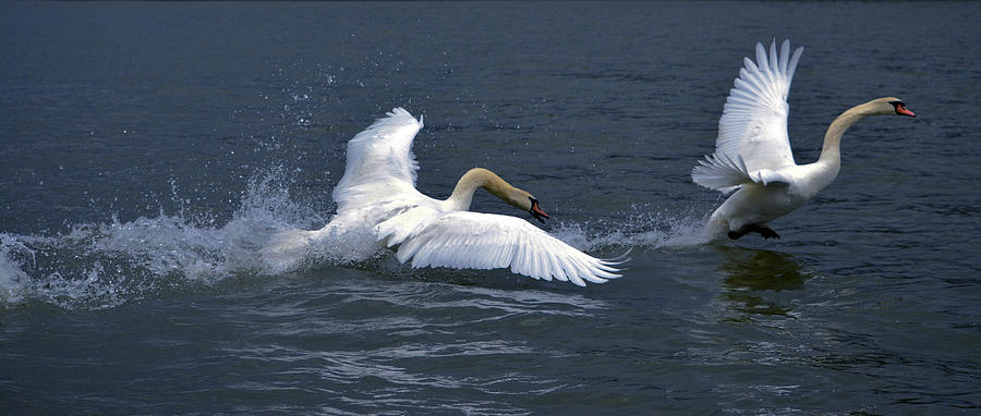 Swans Photograph - Swan Ufc by Brian Stevens