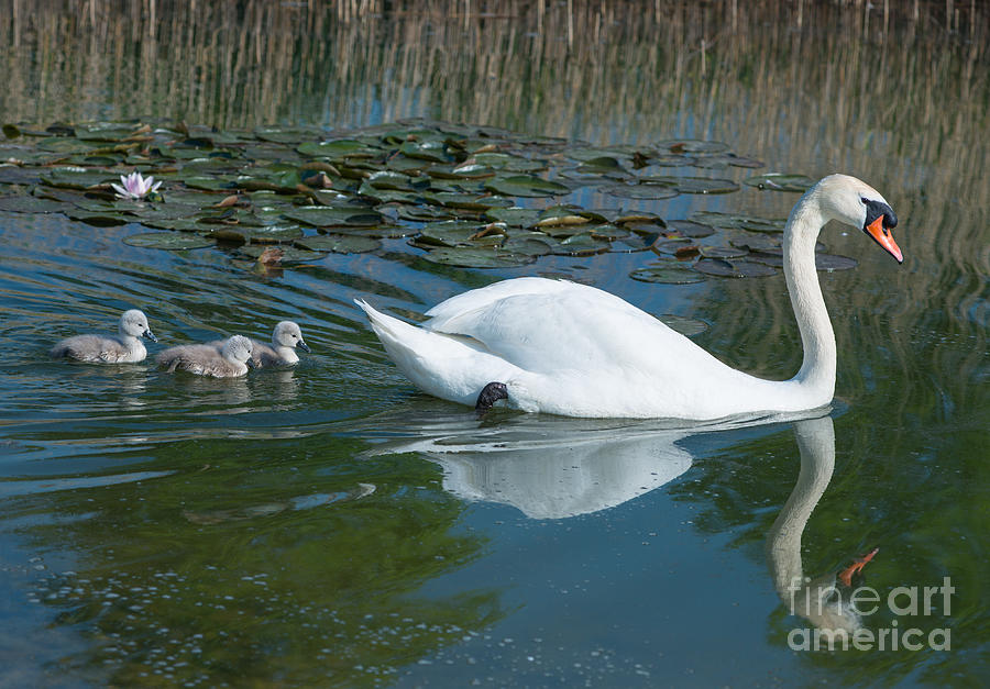 Swan Photograph - Swan With Cygnets by Andrew  Michael