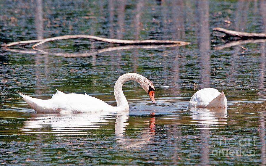 Animal Photograph - Swans At Lunch by Bob Niederriter