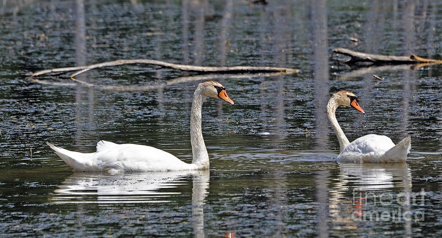 Animal Photograph - Swans At Sandy Ridge by Bob Niederriter