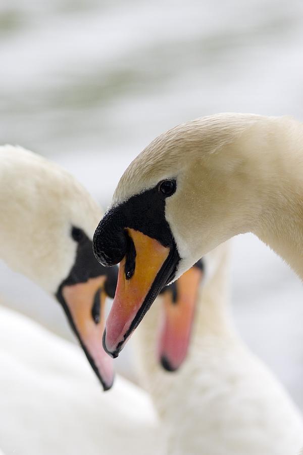 Animals Photograph - Swans by David DuChemin