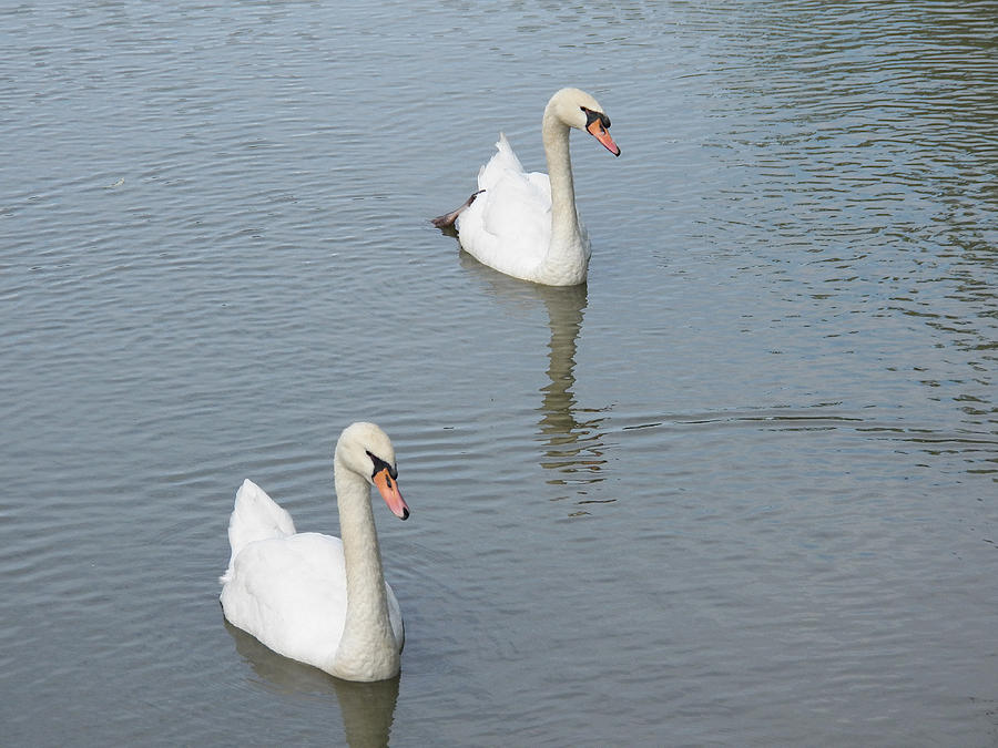 Swan Photograph - Swans Drifting Along by Corinne Elizabeth Cowherd