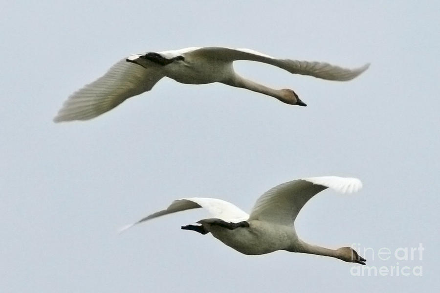 Swan Photograph - Swans Flying South by Diane Folaron