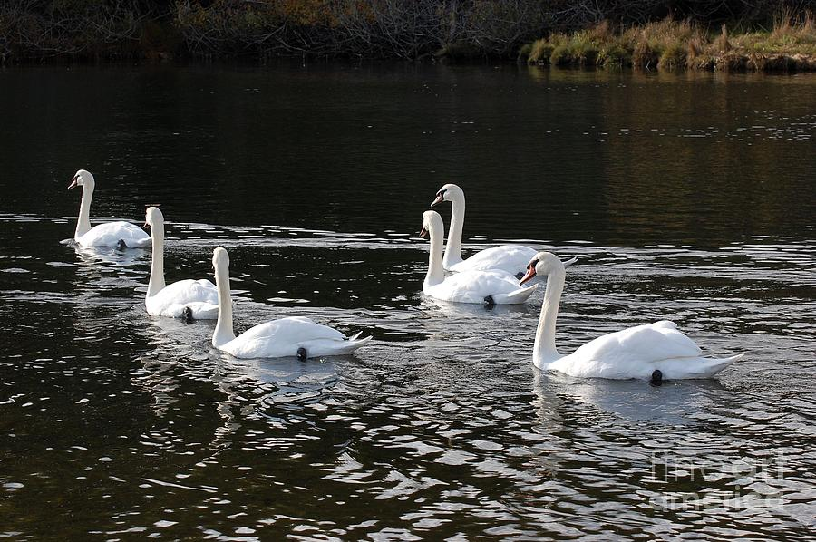 Swans Photograph - Swans in a Row by Marsha Thornton