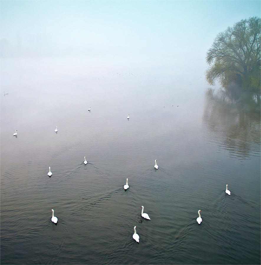 Vertical Photograph - Swans In Log On River Neckar by Ulrich Mueller