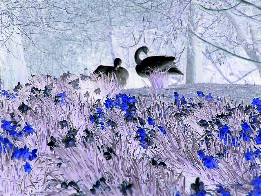 Swans Photograph - Swans In The Blue by Fred Whalley