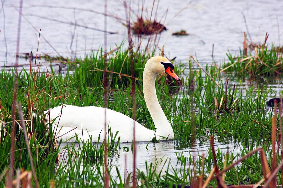 Swan Photograph - Swans Marsh by Marie Jamieson