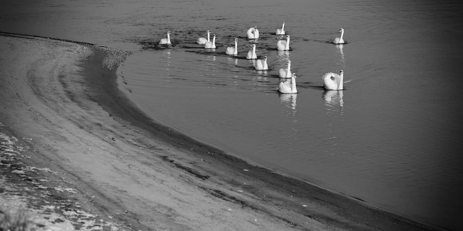 Danube Photograph - Swans On River Danube by Tibor Puski