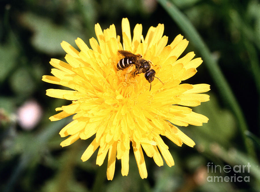Bee Photograph - Sweat Bee by Science Source