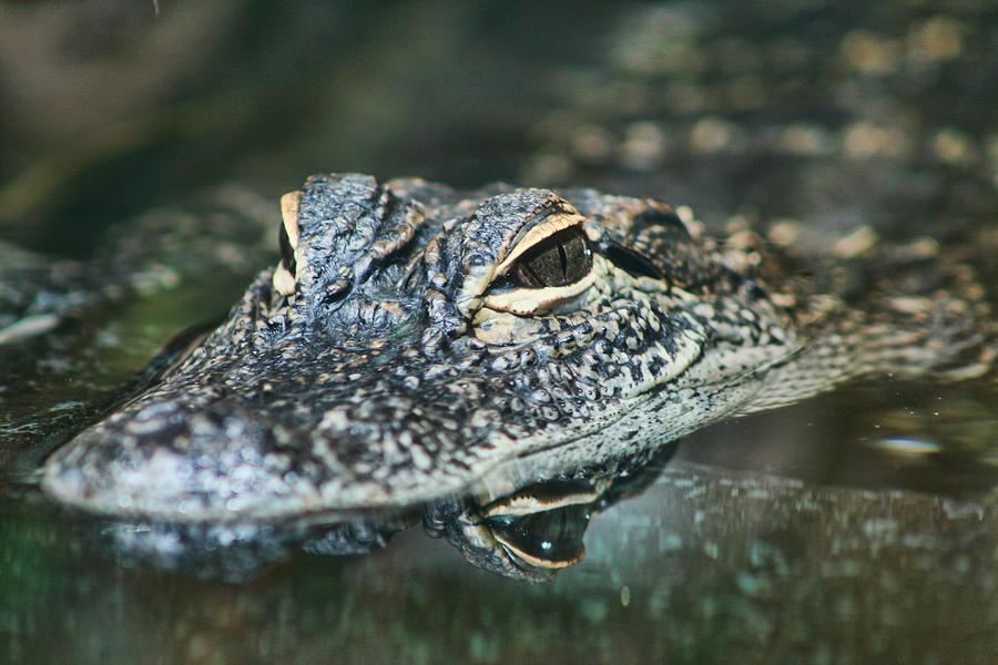 Alligator Mississippiensis Photograph - Sweet Baby Alligator by Kathy Clark
