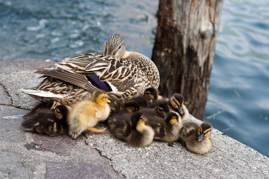 Duck Photograph - Sweet Family by Andrea Barbieri