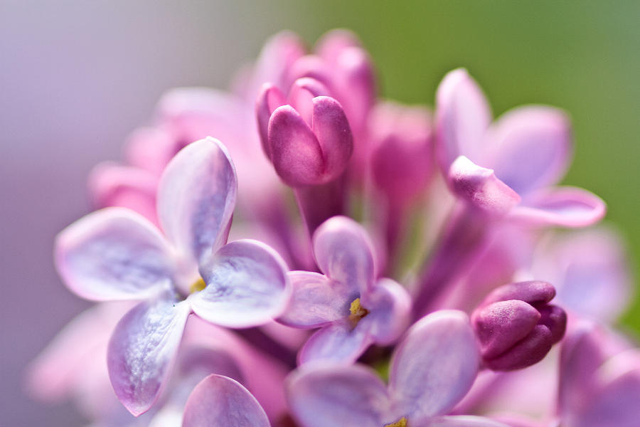 Lilac Photograph - Sweet Lilac by Mitch Shindelbower