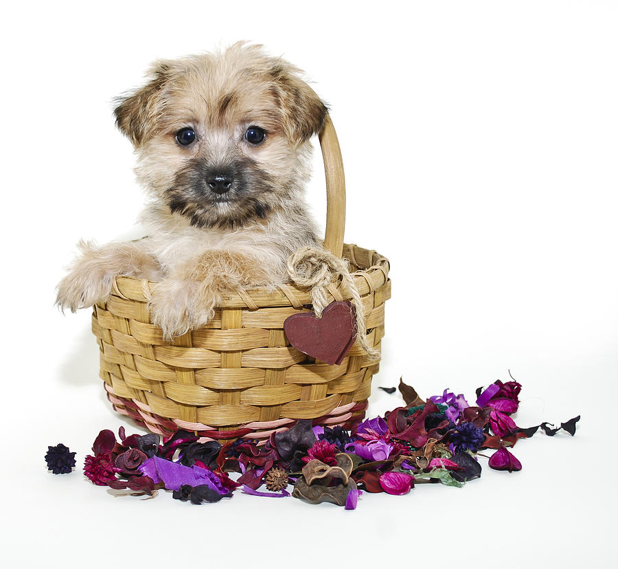 Sweet  Morkie  Puppy Photograph by StockImage