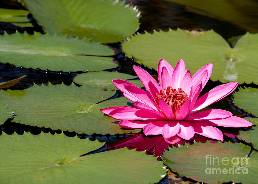 Macro Photograph - Sweet Pink Water Lily In The River by Sabrina L Ryan