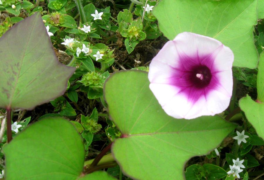 Flower Photograph - Sweet Potatoe Flower by Juliana  Blessington