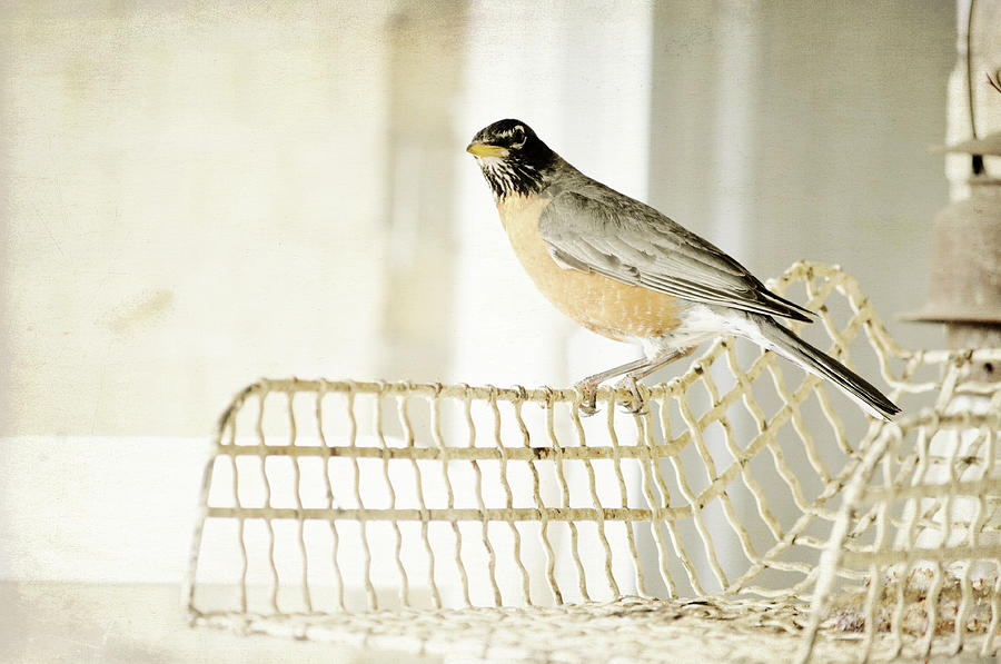 Horizontal Photograph - Sweet Robin by Kim Klassen Photography