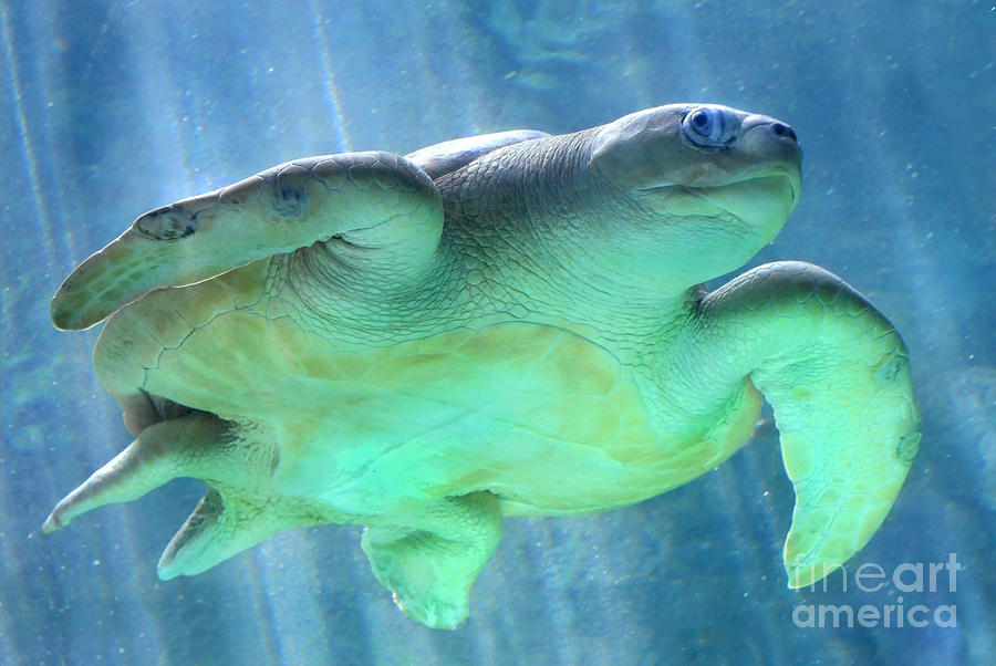 Turtle Photograph - Swimmer by Dan Holm