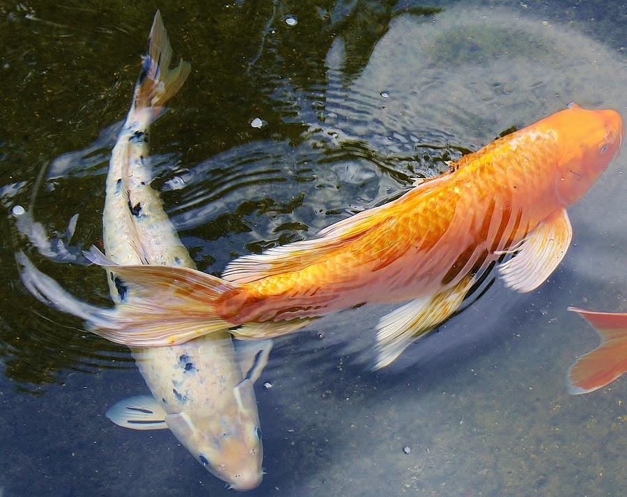 Swimming Koi Photograph by Bruce Bley Japanese Koi Fish Swimming