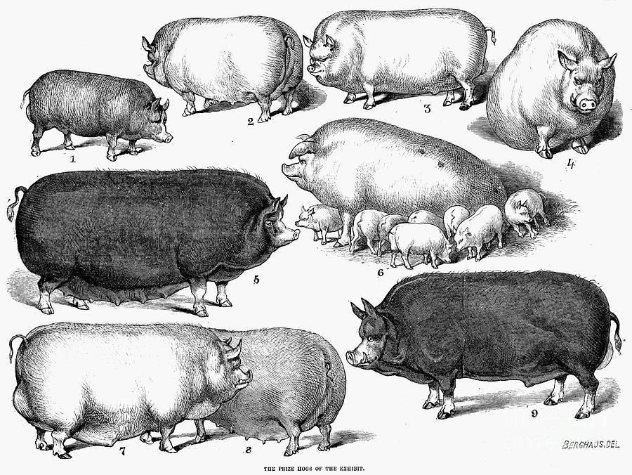 1876 Photograph - Swine, 1876 by Granger