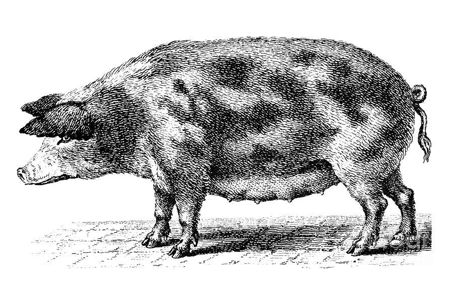 Biology Photograph - Swine by Granger