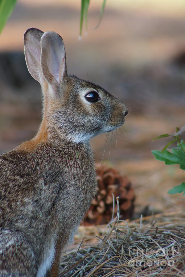 Eastern Cottontail Photograph - Sylvia by Lynda Dawson-Youngclaus