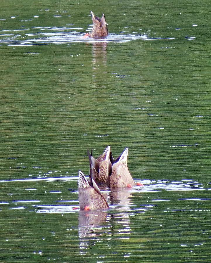 Tacoma Photograph - Synchronized Ducking by Chris Anderson