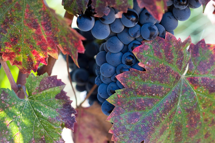 Vegetation Photograph - Syrah Grapes With Autumn Leaves by Dina Calvarese