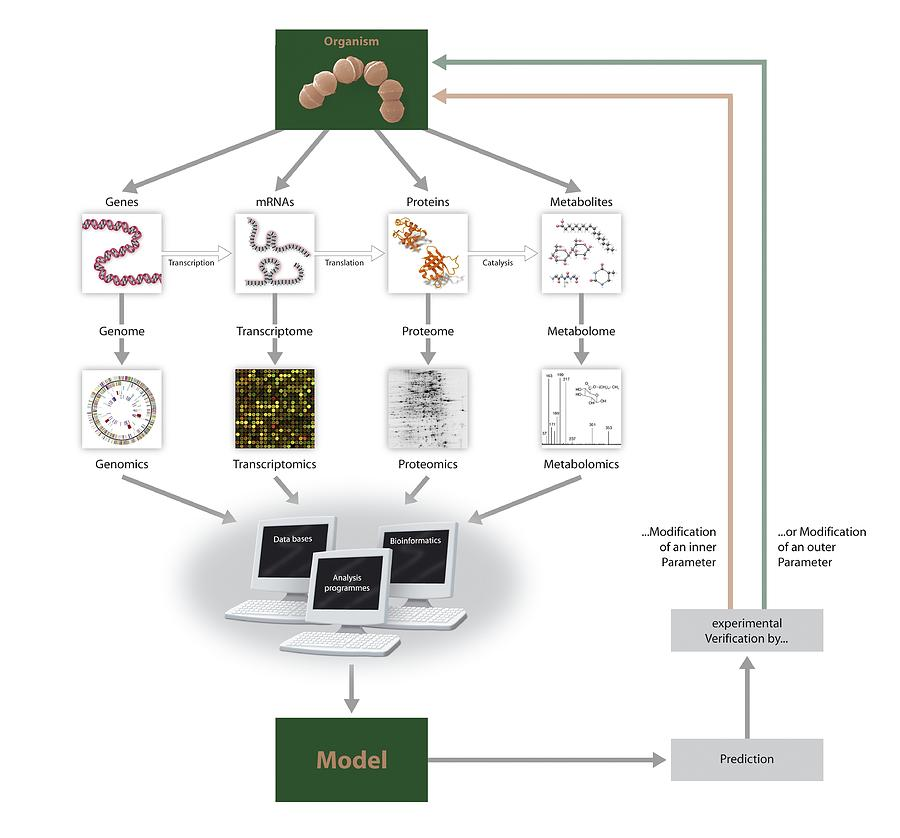 Systems biology flow chart photograph by art for science model organism photograph systems biology flow chart by art for science ccuart Image collections