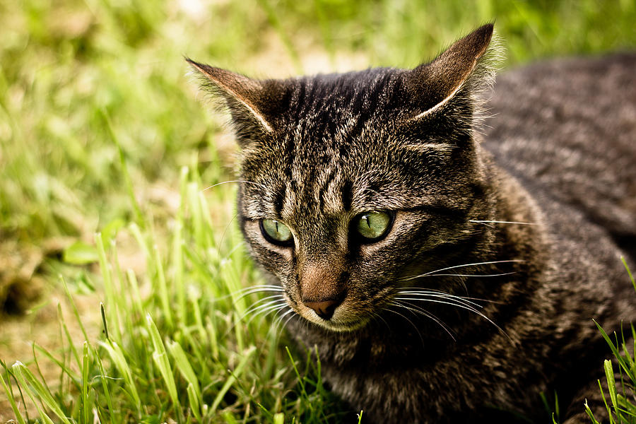 Cat Photograph - Tabby by Callum Mcleod