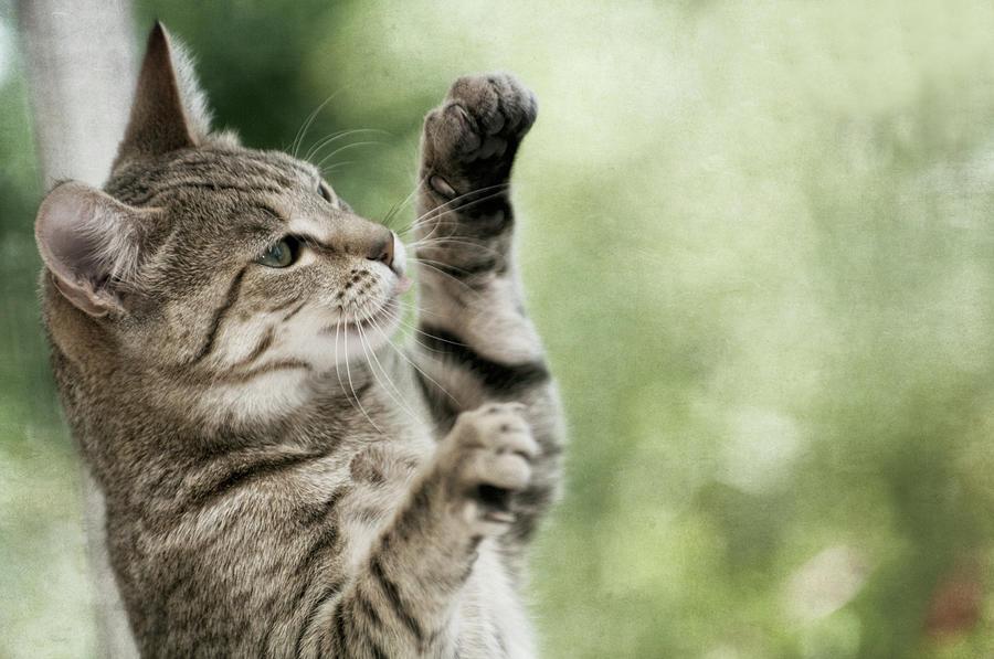 Horizontal Photograph - Tabby Kitten by Jill Ferry