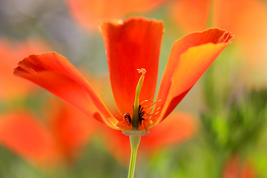 Poppy Photograph - Take A Look Inside by Heidi Smith