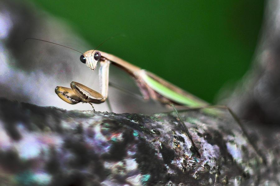 Praying Mantis Photograph - Take Me To Your Leader by Lisa Sorrell