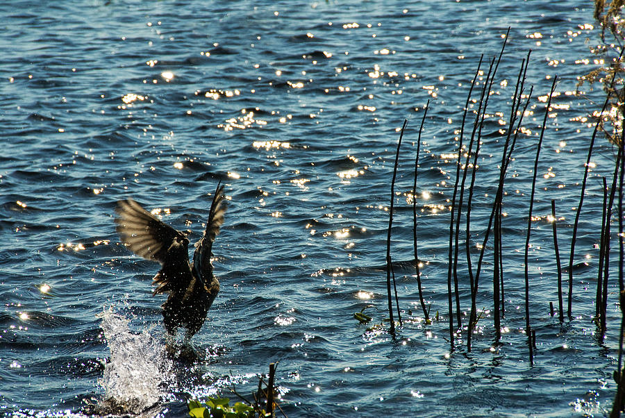 Bird Photograph - Take Off by Cindy Tiefenbrunn