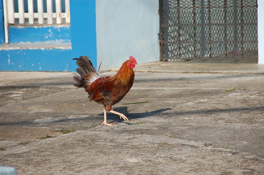 Rooster Photograph - Takin A Step by Aimee L Maher Photography and Art Visit ALMGallerydotcom