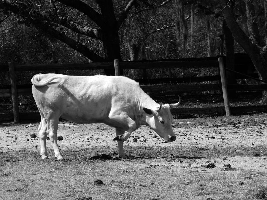 Cow Photograph - Taking A Bow by Pamela Stanford