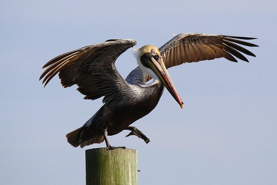 Pelican Photograph - Taking A Leap Of Faith by Paulette Thomas