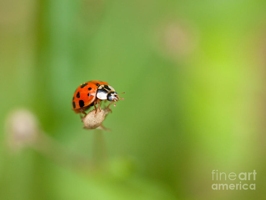 Ladybug Photograph - Taking Risks by Sue OConnor