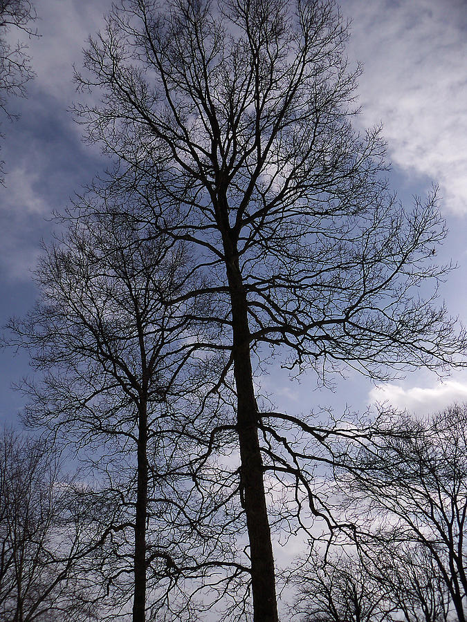 Trees Photograph - Tall Silhouetted Trees by Corinne Elizabeth Cowherd