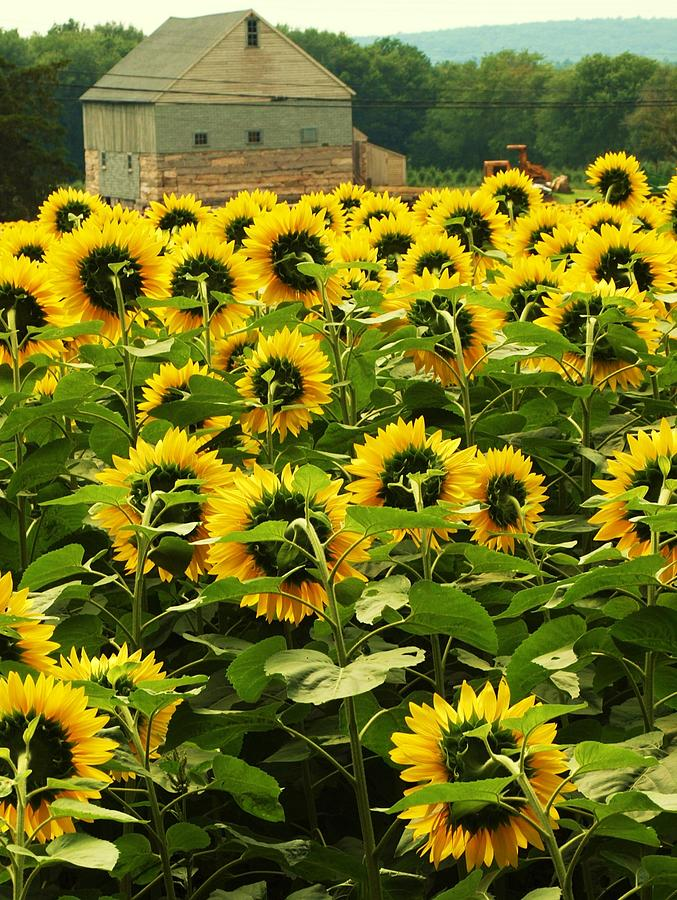 Tall Sunflowers Photograph By John Scates