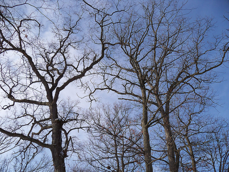 Trees Photograph - Tall Trees Reaching For A Blue Sky by Corinne Elizabeth Cowherd