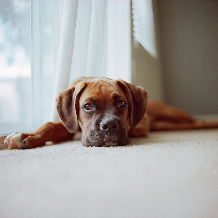 Square Photograph - Tan Boxer Puppy Laying On Carpet Near Window by Diyosa Carter