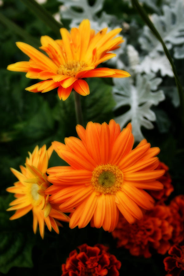 Nature Photograph - Tangerine Colored Gerbera Daisies by Kay Novy