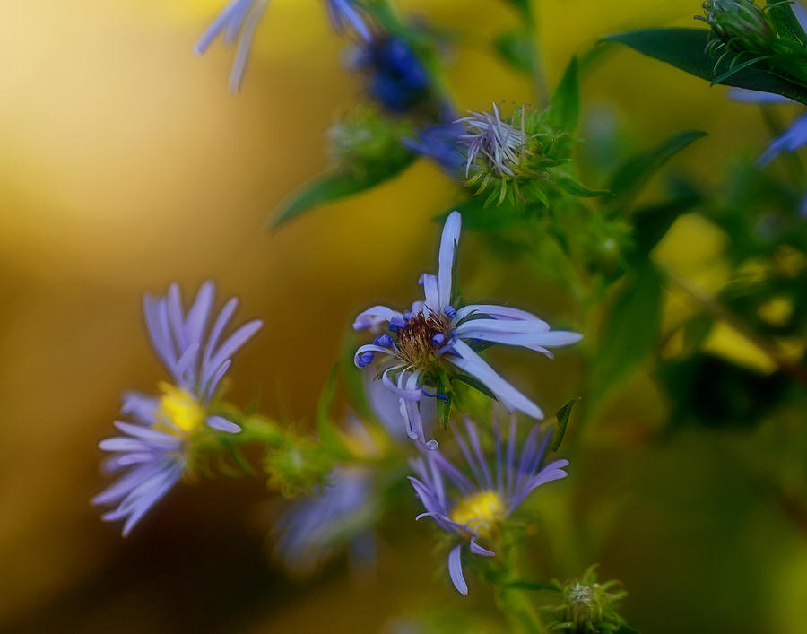 Asters Photograph - Tangled Up In Blue by Susan Capuano