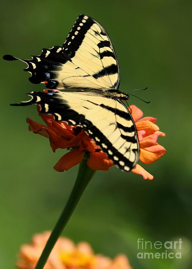 Butterfly Photograph - Tantalizing Tiger Swallowtail Butterfly by Sabrina L Ryan