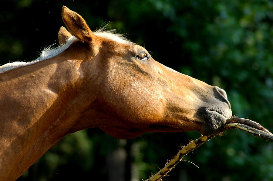 Horse Photograph - Tasty Branch by David Weeks