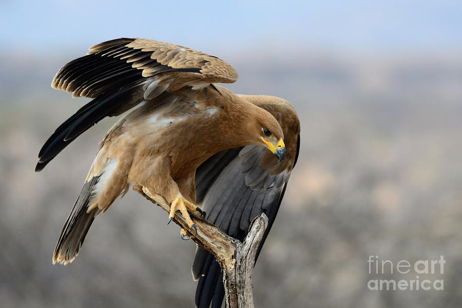 Buffalo Springs Photograph - Tawny Eagle by Alan Clifford