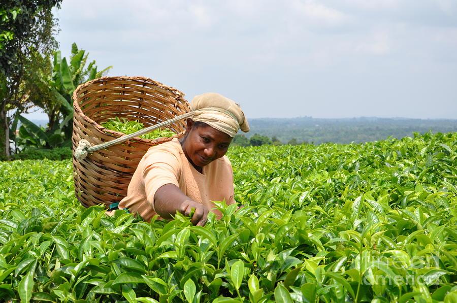 Tea Picker In Kenya Photograph By Marge Marino