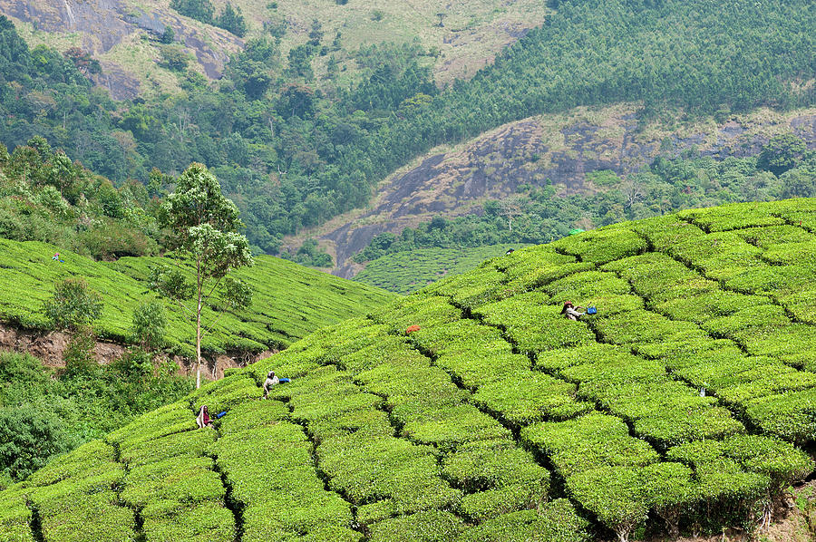 Horizontal Photograph - Tea Pickers Working In Tea Plantation In Munnar by Www.igorlaptev.com