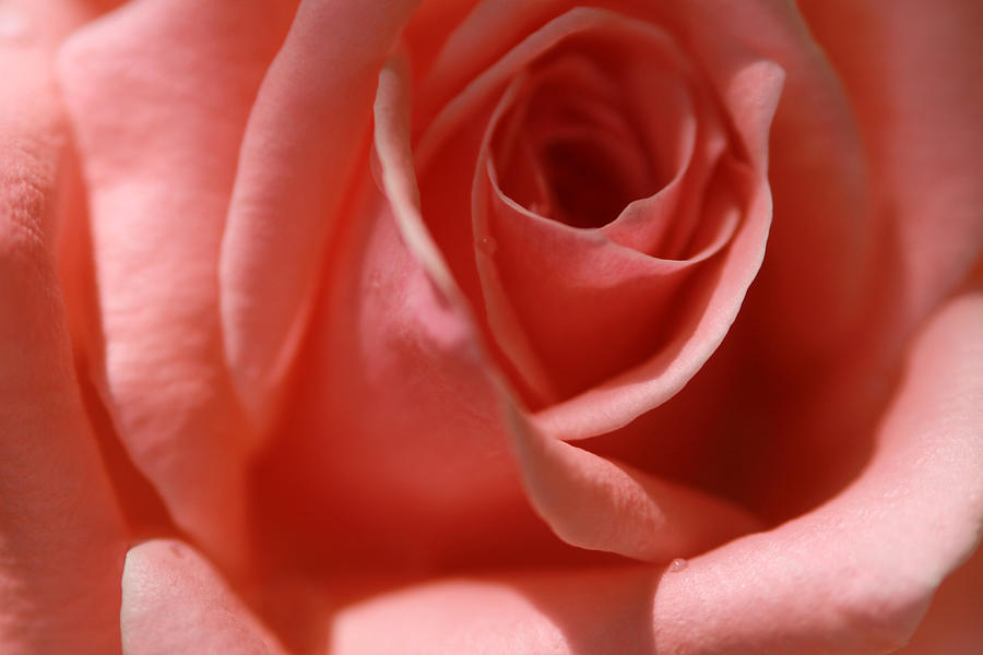 Pink Rose Photograph - Tear Drops by Jose Rodriguez