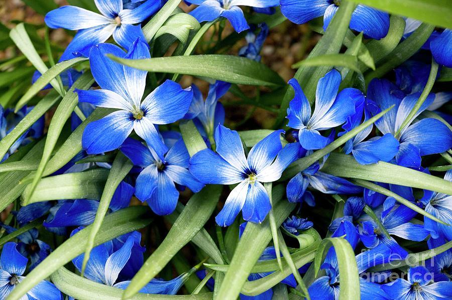 Flower Photograph - Tecophilaria Cyanocrocus by Bob Gibbons